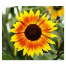Herdabdeckplatte 60x52 Ceranfeld Deko Glas Sonnenblumen...